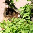 """Do niecodziennego wydarzenia doszło w niedzielne popołudnie w Poniatowej. Z poddasza bloku przy ul. 1 Maja 6 wyroiły się pszczoły, które zaraz po wylocie z gniazda """"osiadły"""" na pobliskiej lipie. […]"""